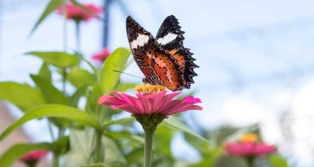 Растения, которые привлекают бабочек в сад
